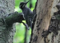 three-toed-woodpecker-is-one-from-the-bialowieza-primaeval-forest-rarities