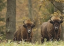 thumbs autumn camouflage European bison refuge