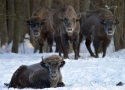 thumbs bialowieza bison do not mind frost European bison refuge