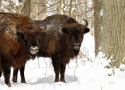 thumbs winter meeting European bison refuge