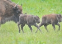 thumbs young bialowieza frisky bison European bison refuge