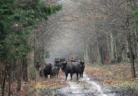 a-meeting-on-road-in the-primaeval-forest-in-Bialowieza-Forest