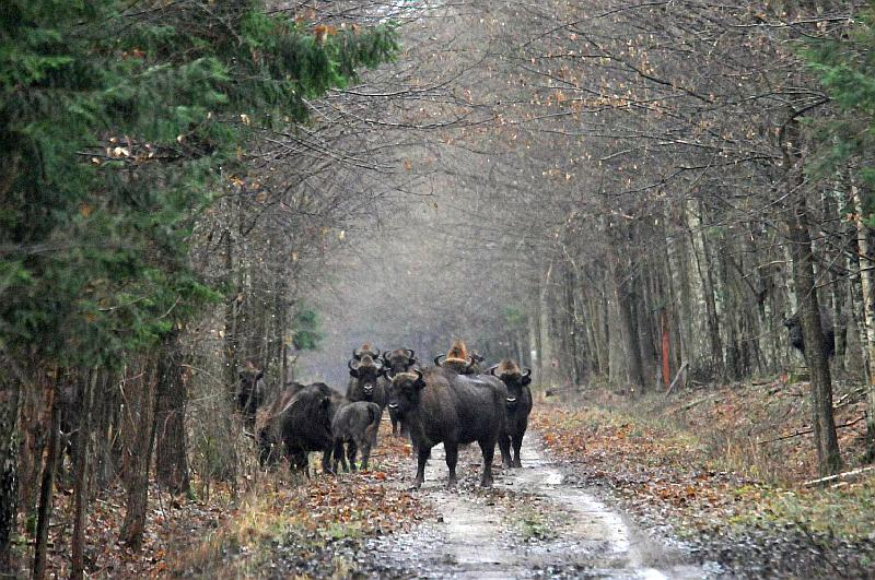 Bison Tracking - Bialowieza Forest, Poland