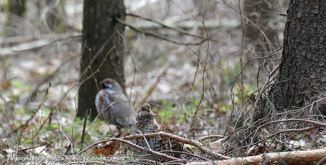 Hazel grouse form Bialowieza Forest