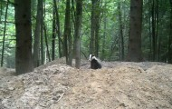 Badger from Bialowieza Forest
