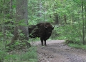 a-meeting-of-bison-on-the-road-in-bialowieza-forest