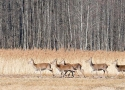 group-of-roe-deers-in-the-valley-of-narewka-river-main-riverof-the-bialowieza-forest