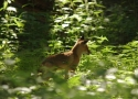 young-fox-in-bialowieza-primaeval-forest