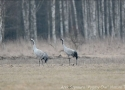 cranes-from-bialowieza
