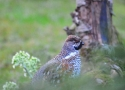 hazel-grouse-resident-bird-of-the-bialowieza-forest