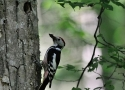 medium-spotted-woodpecker-met-on-trail-in-bialowieza-forest