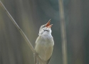morning-observation-of-great-reed-warbler-on-the-trip-focused-on-birds