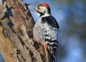 white-backed-woodpecker-in-bialowieza-male