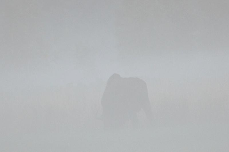 it-is-difficult-to-spot-bison-in-bialowieza-fog