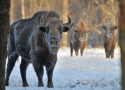 european-bison-in-frames