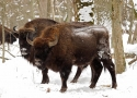 winter-is-the-easiest-time-to-photograph-bison