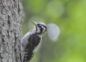 holy-tree-toed-woodpecker
