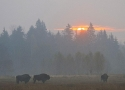 rise-of-sun-with-bison-in-bialowieza