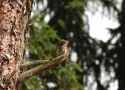 pygmy-owl-likes-pine-forest