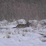 Bialowieza wolf