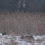 Bialowieza wolfs