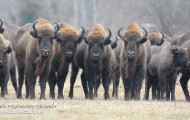 Counting of bialowieza bison
