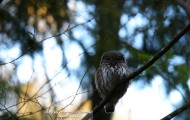 Pygmy Owl from Bialowieza Forest