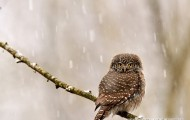 Pygmy Owl from Bialowieza Forest-