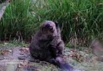 Bialowieza Forest beaver