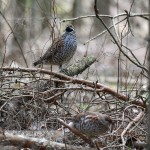 Hazel grouse form Bialowieza Forest