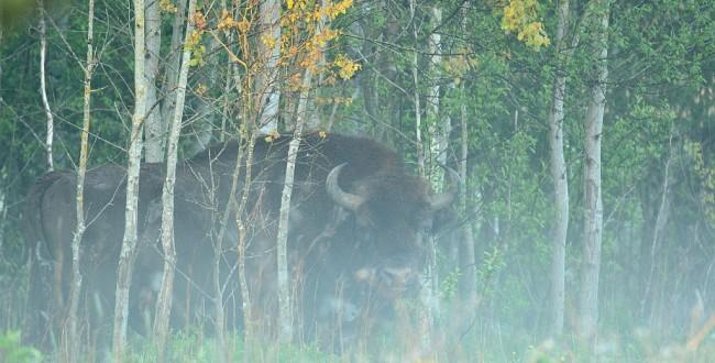 Bialowieza forest bison in mist