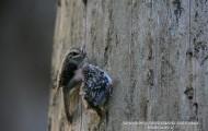 treecreepers fom Bialowieza Forest
