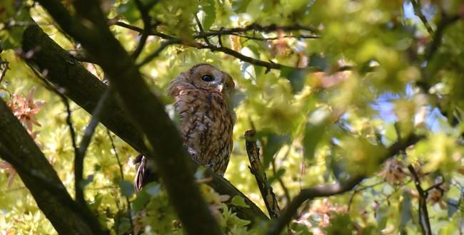 Tawny owl from Bialowieza forest