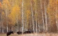 Bialowieza forest european bison in atumn