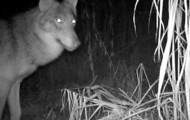 Bialowieza Forest Wolf