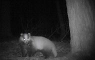Bialowieza forest badger