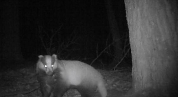Bialowieza forest badger