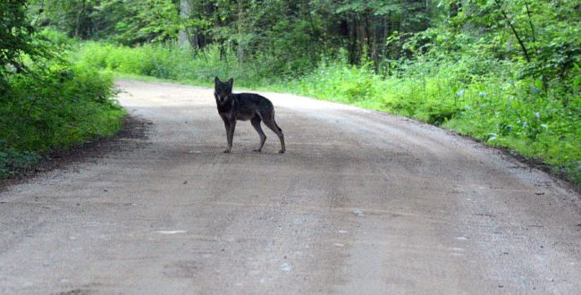 Wolf in Bialowieza forest
