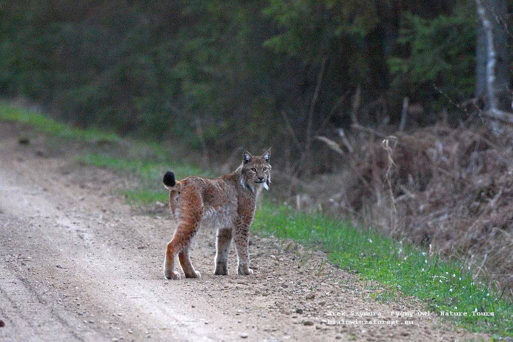 Lynx in the Bialowieza Forest